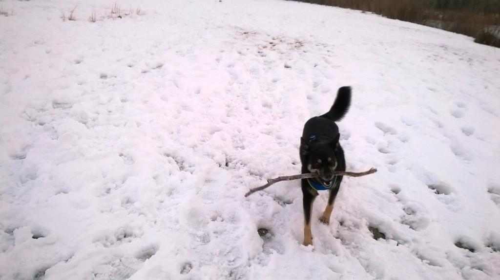Archer Shiba Inu German Shepherd